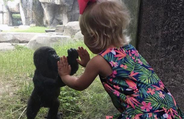 Este es el mágico momento donde una niña se da las manos con un bebé gorila