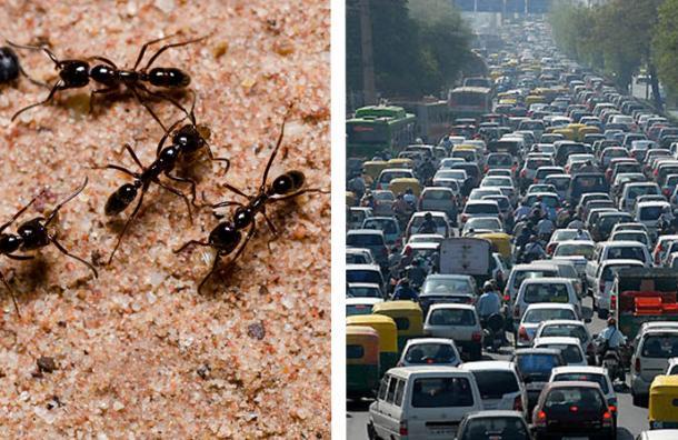 Las hormigas tienen la solución para evitar la congestión vehicular