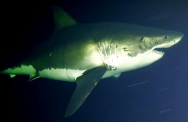 Por primera vez graban a un tiburón blanco durmiendo en el océano y así se ve